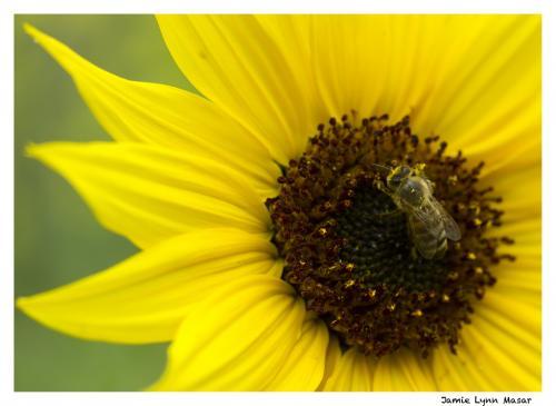 Beesunflower2