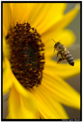 Honey Bee Taking Flight (matted)
