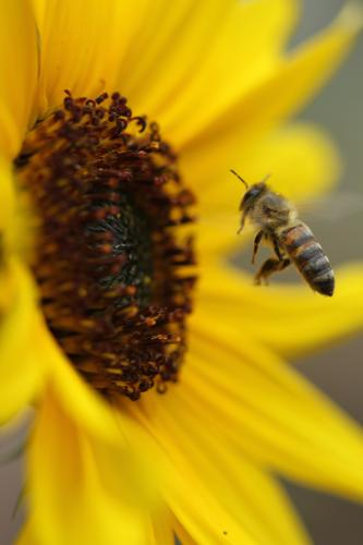 Honey Bee taking flight